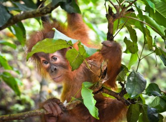 Orangutans fight for survival as thirst for palm oil devastates rainforests