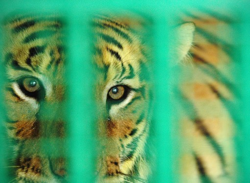 The five-year race to save India's vanishing tigers